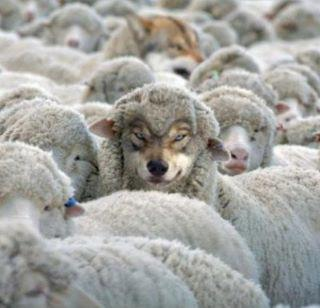 Image result for wolf in sheep's clothing